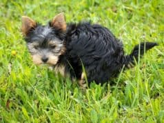 Is dog poop good fertilizer for vegetable or flower garden