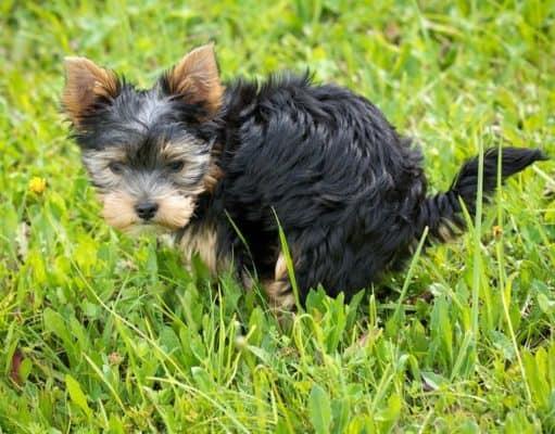Is dog poop good fertilizer for vegetable or flower garden
